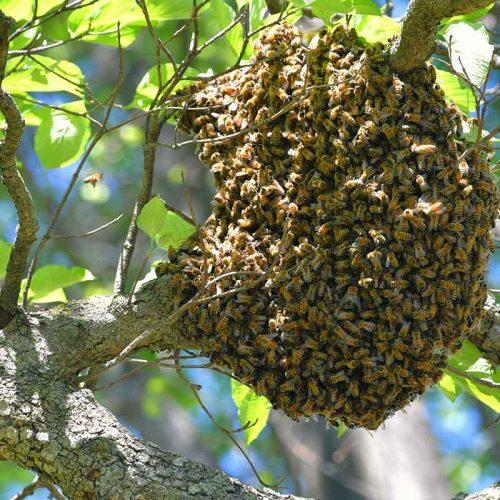 honey-bee-hive-in-a-tree-with-honeybees-swarming-a-2021-04-05-01-13-22-utc.jpg